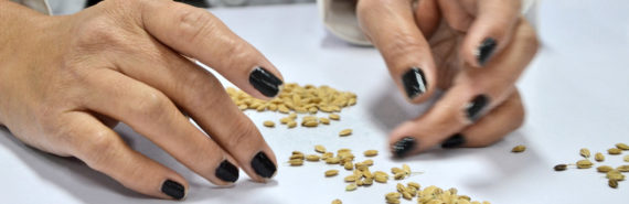 hands sort rice seeds - salinity