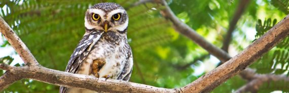 spotted owl in tree