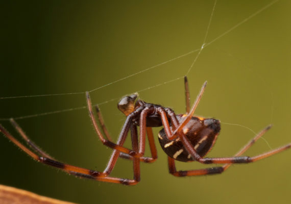 northern black widow spider with web