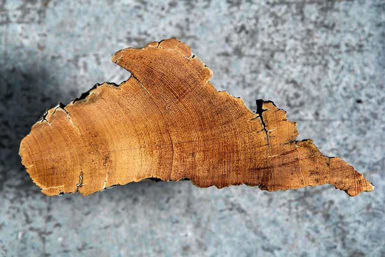 bristle cone pine slice