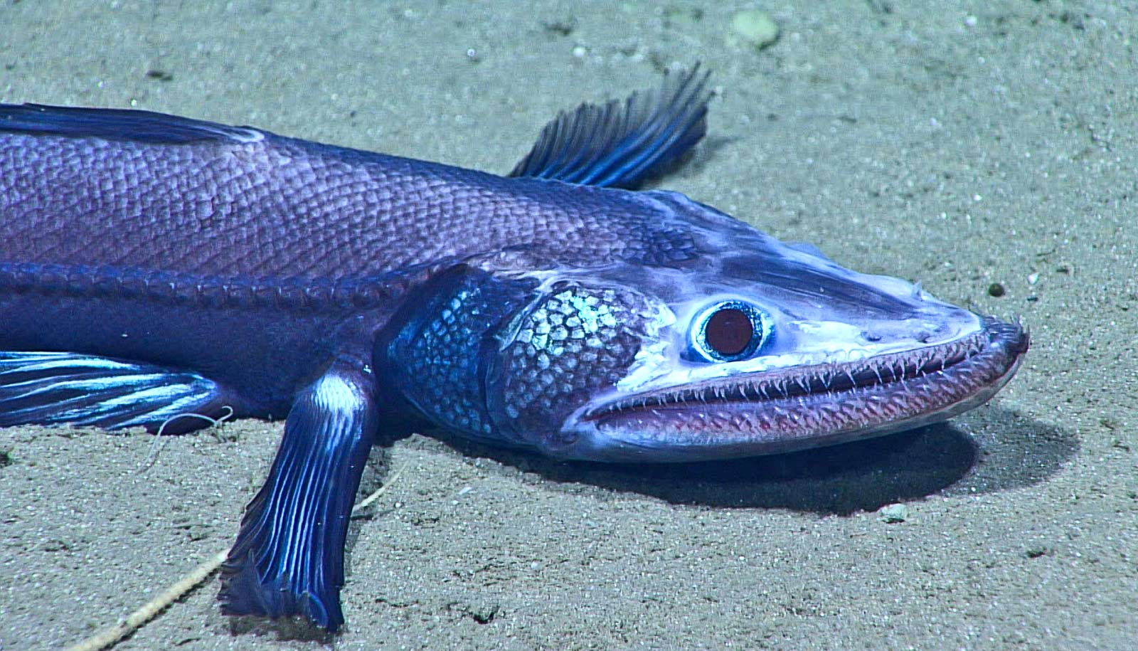 deep-sea lizardfish