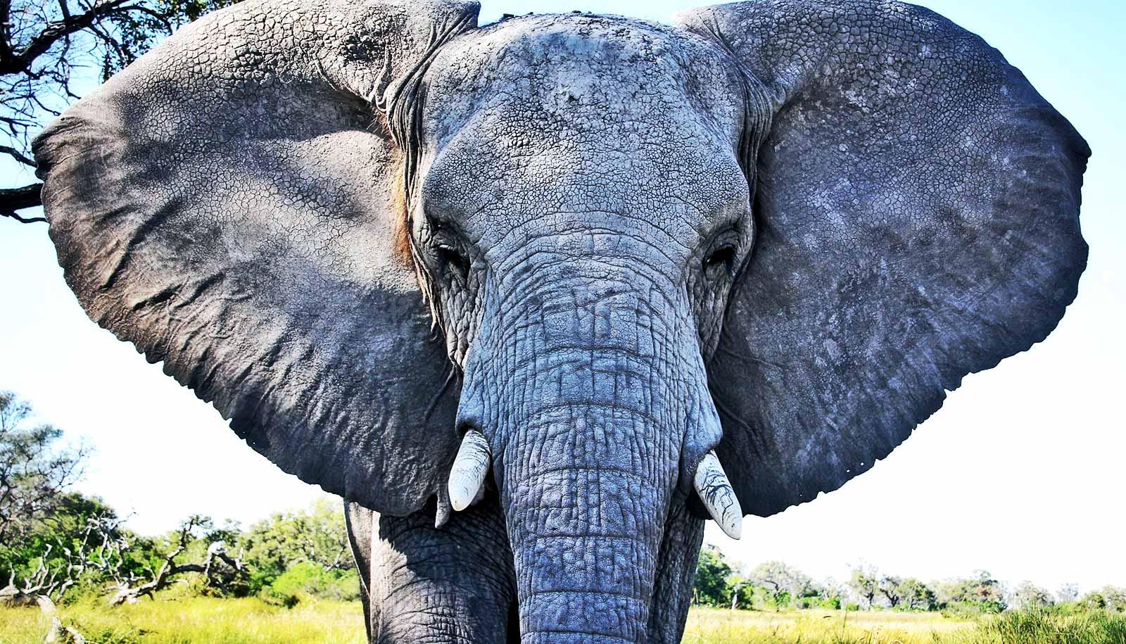 39 zombie 39 gene returns to life and kills cancer in elephants futurity - Image elephant ...