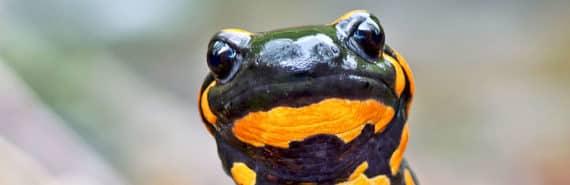 salamander with orange spots