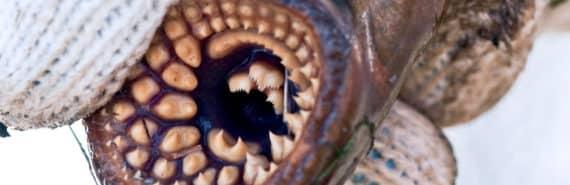 sea lamprey mouth