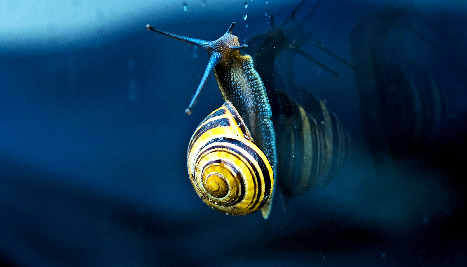 How Snails Get Both Lefty And Righty Shells Futurity