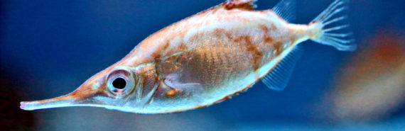 snipefish