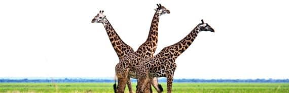 three giraffes (Wildlife Management Areas concept)