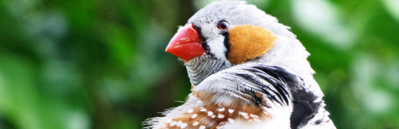 zebra finch against greenery (learning concept)