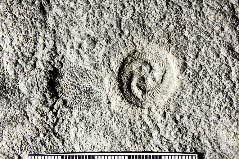 Ediacaran fossils
