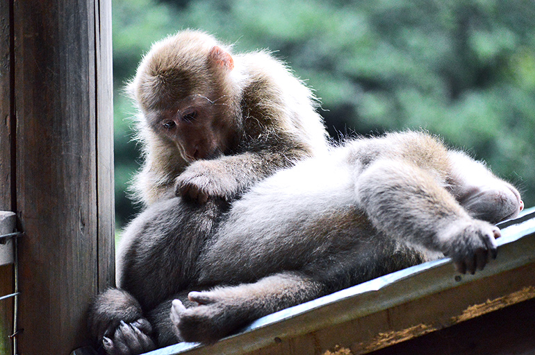 two Tibetan macaques