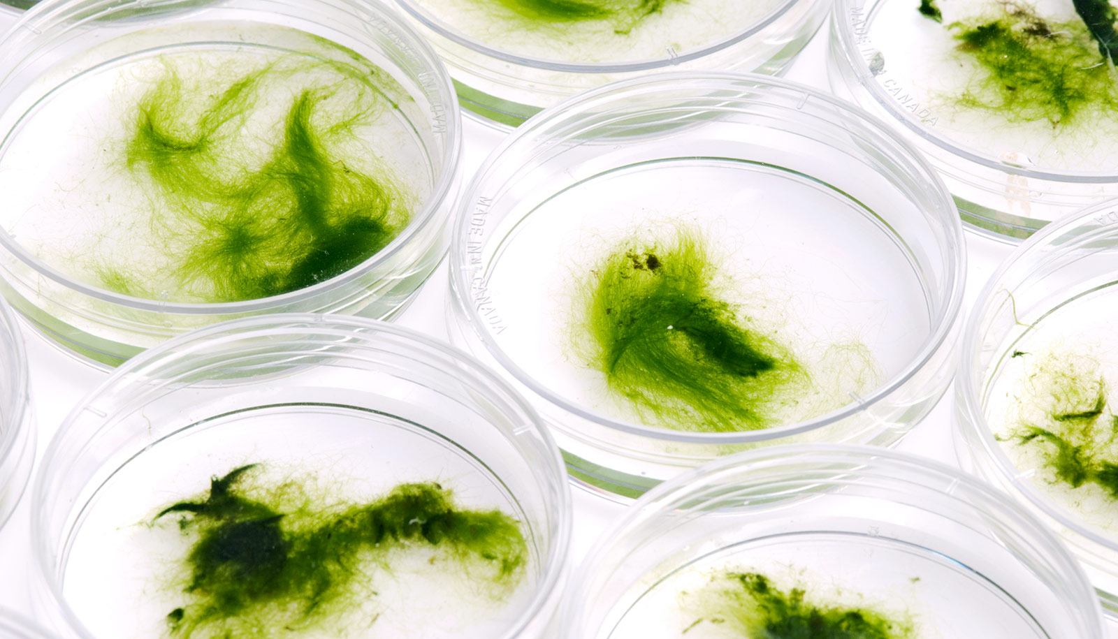 Sea sludge' could solve current problems with biofuels