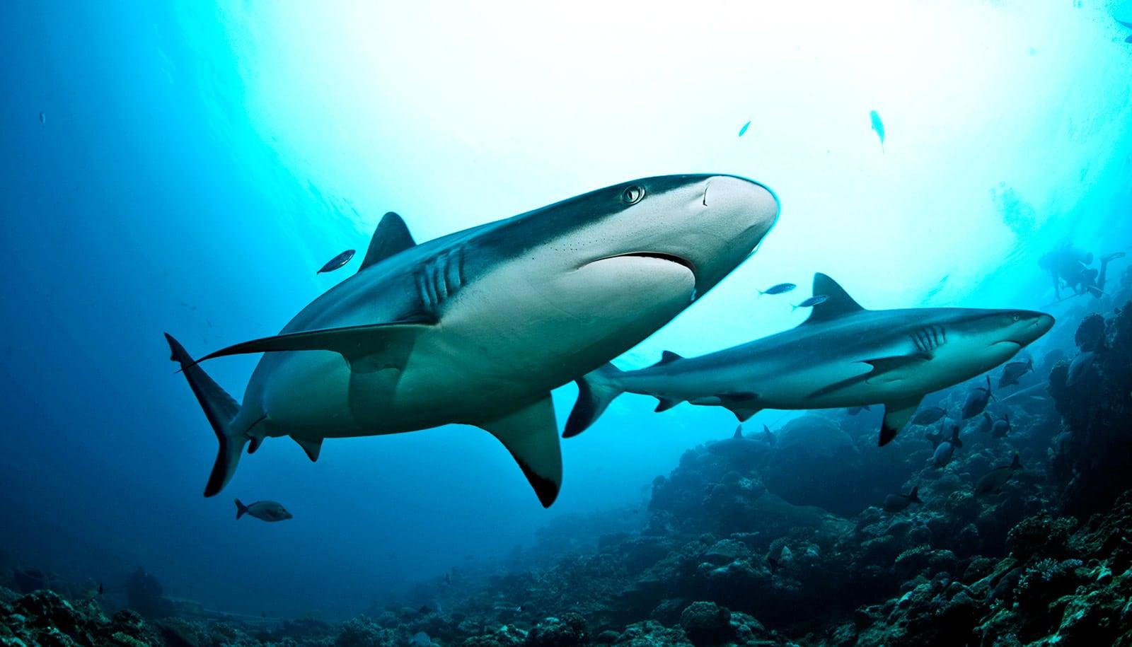 Satellites in orbit can save sharks in the ocean