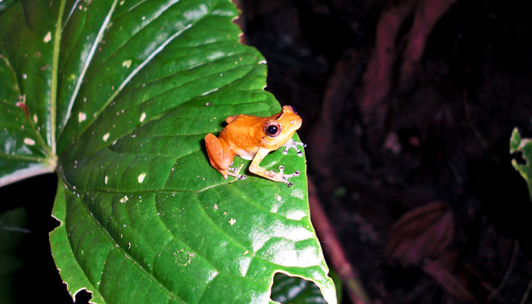 Panamanian frog