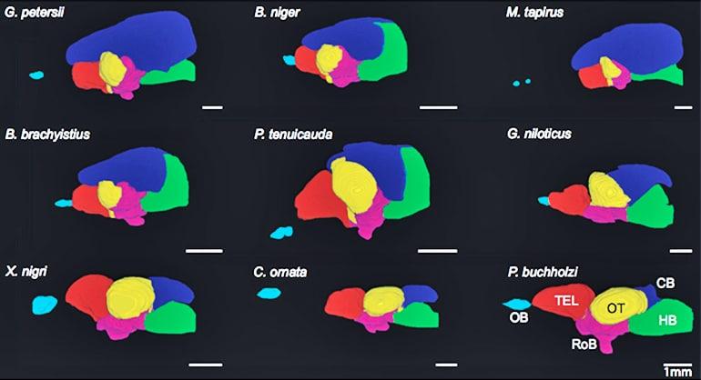 Fish brains comparison