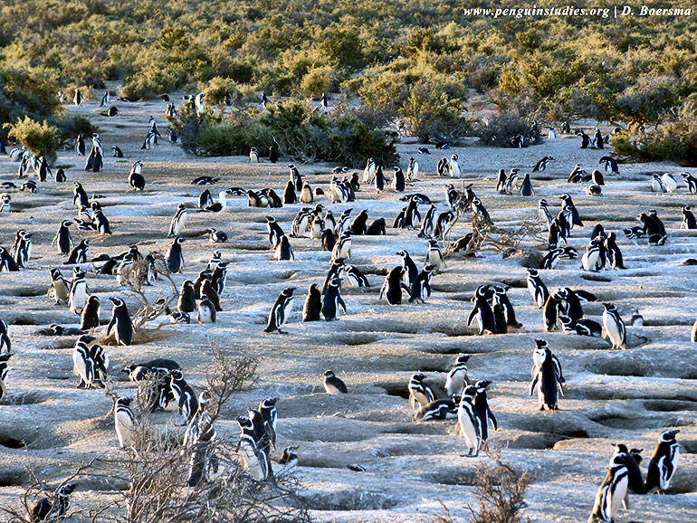Magellanic penguin colony at Punta Tombo in Argentina