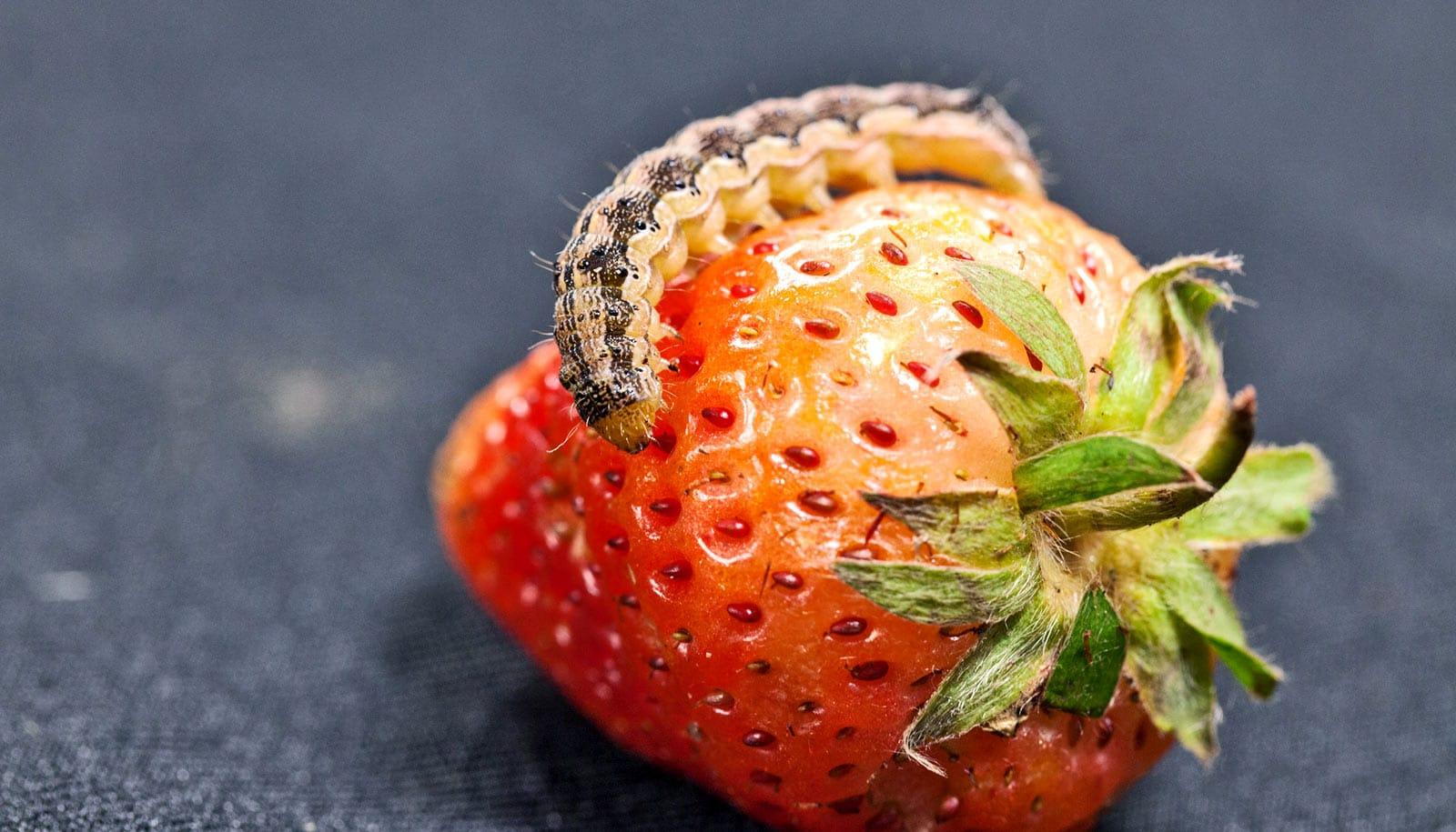 CRISPR solves cotton bollworm resistance mystery