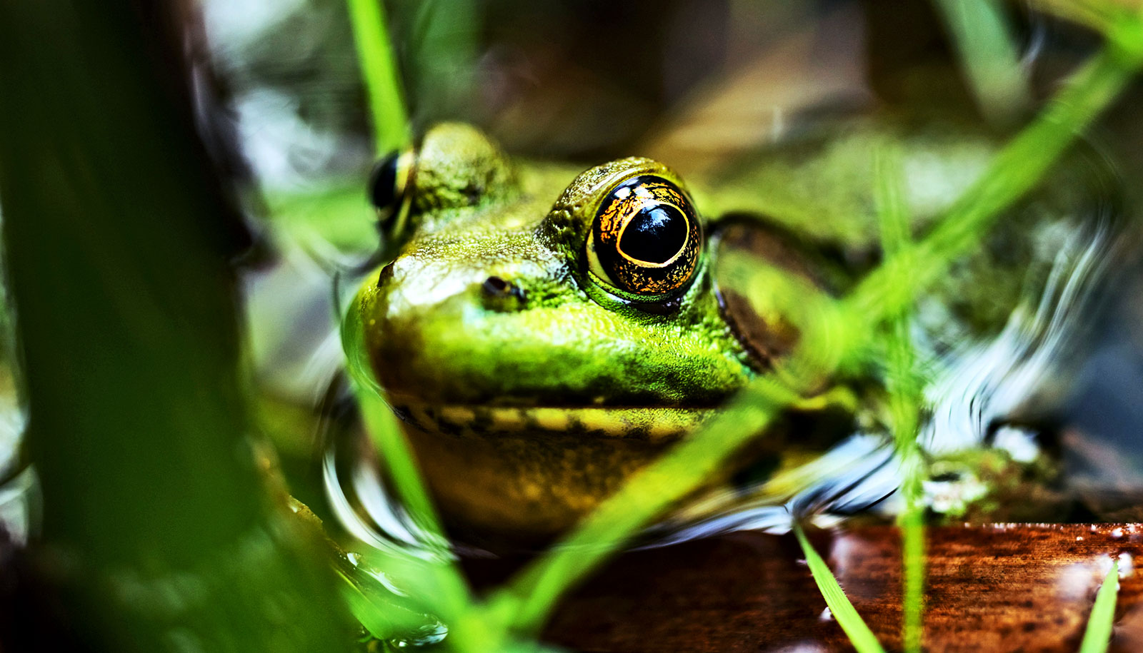 Futurity Research News From Top Universities Reverse Forward Control Circuit How Frogs Adapt To Life Near Noisy Highways