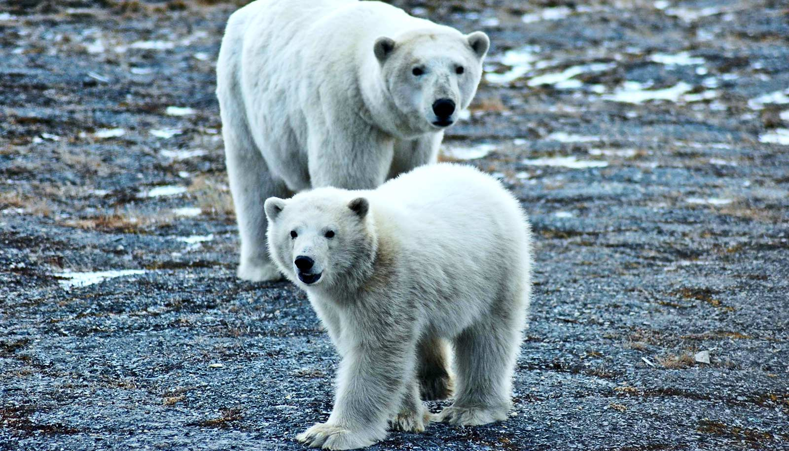 These U.S.-Russia polar bears are doing just fine