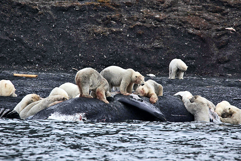 polar bears on whale carcass