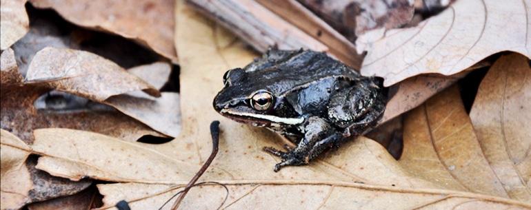 wood frog on leaves