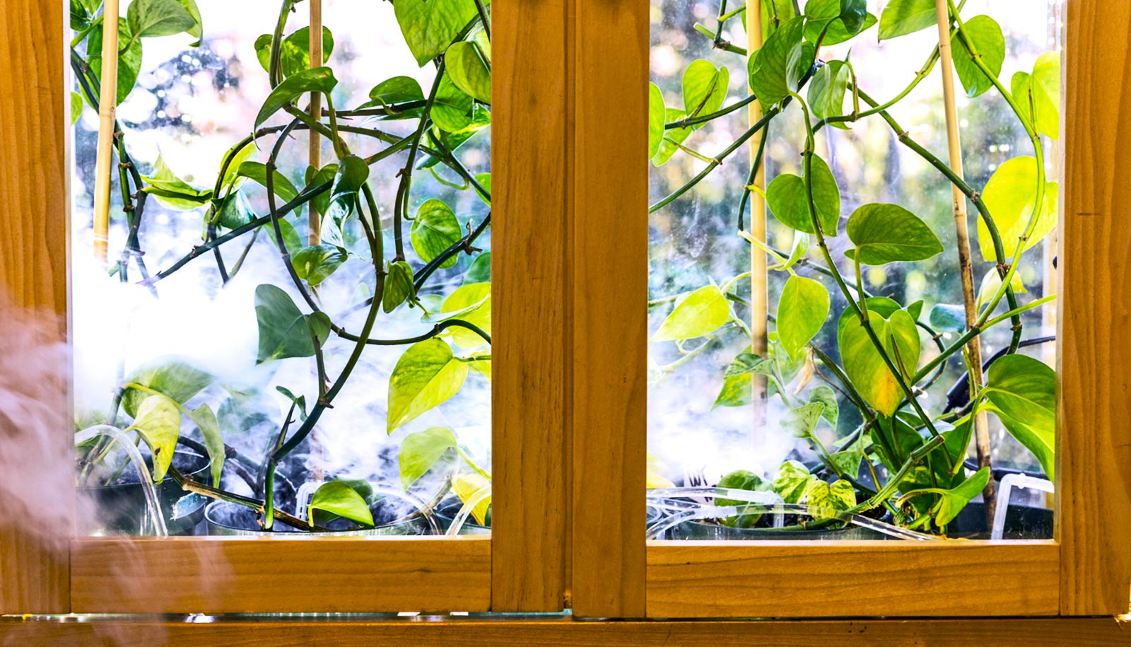 GM houseplant sucks cancer-linked chemicals from the air