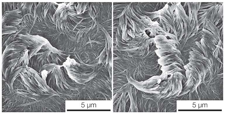An electron microscope image of two arrays of fibers curving in opposite directions