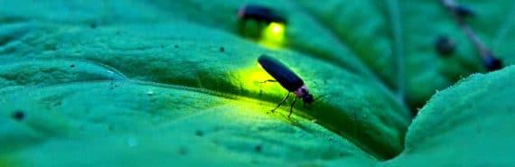 fireflies on a leaf