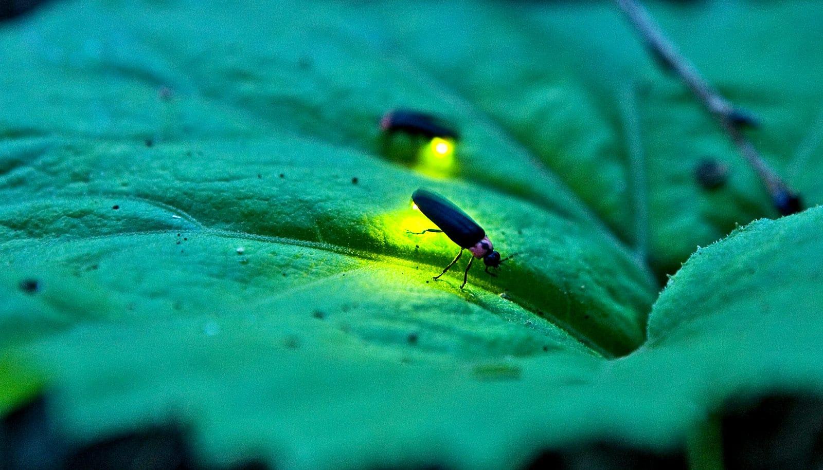 Fireflies inspire new energy-saving LED light bulbs