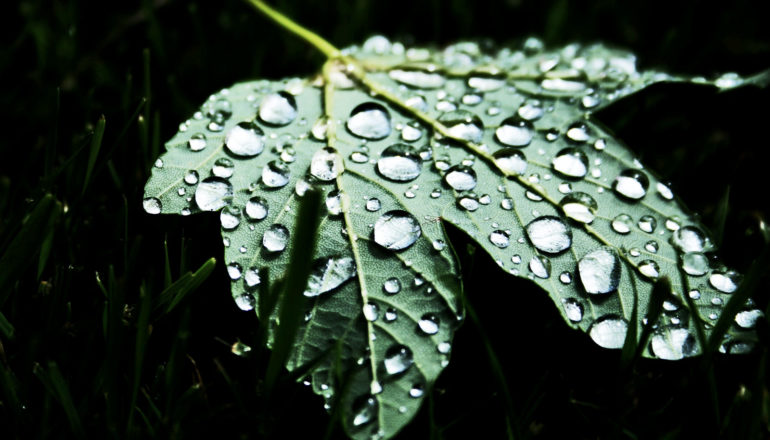 raindrops on underside of a leaf