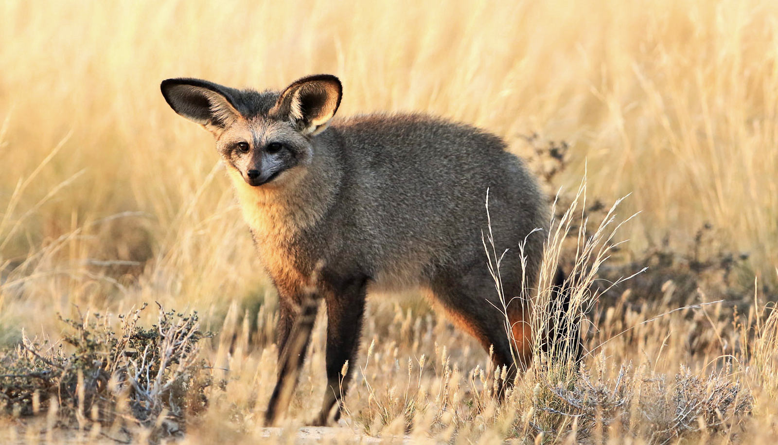 bat-eared fox in yellow grass