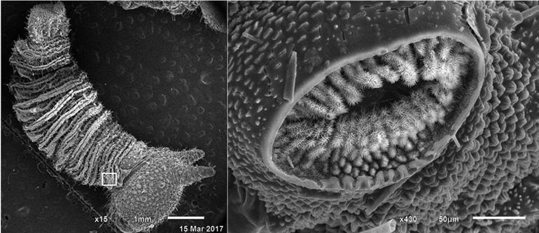 SEM image of caterpillar and spiracles