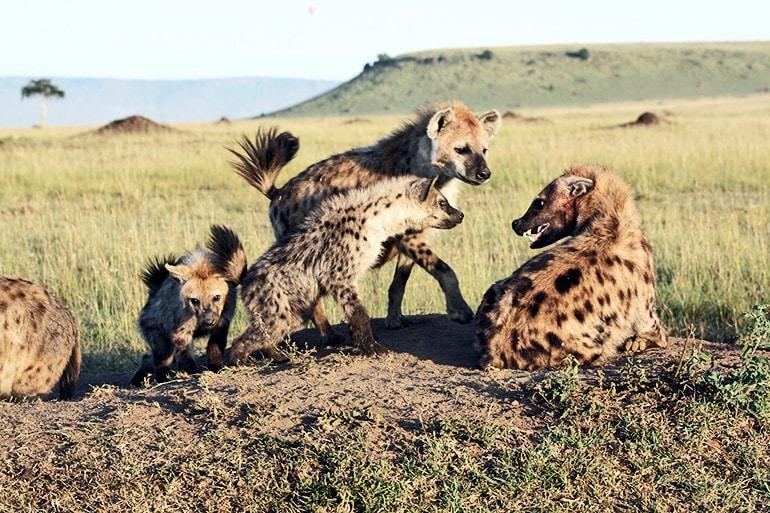 hyena fight