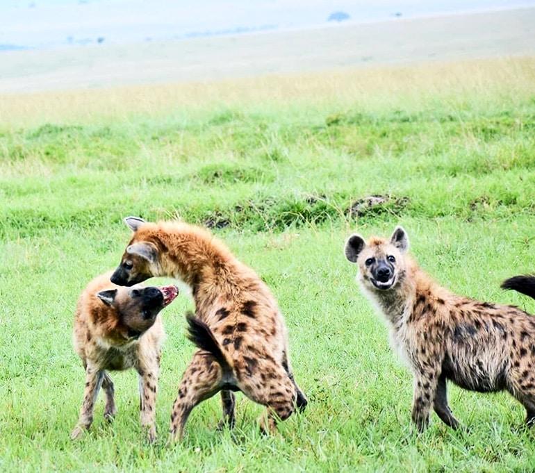 hyenas fighting