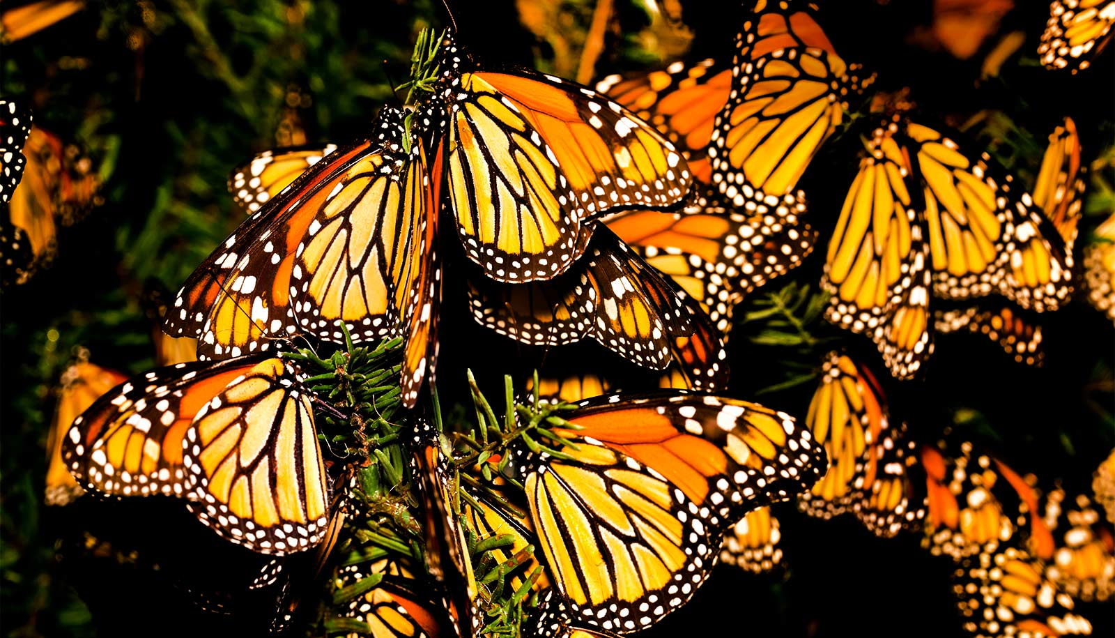 Fall migration is key to monarch survival