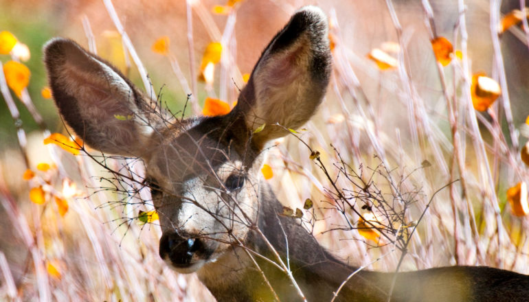 mule deer with branch in front of face