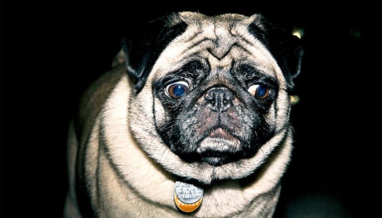 sad pug eyes