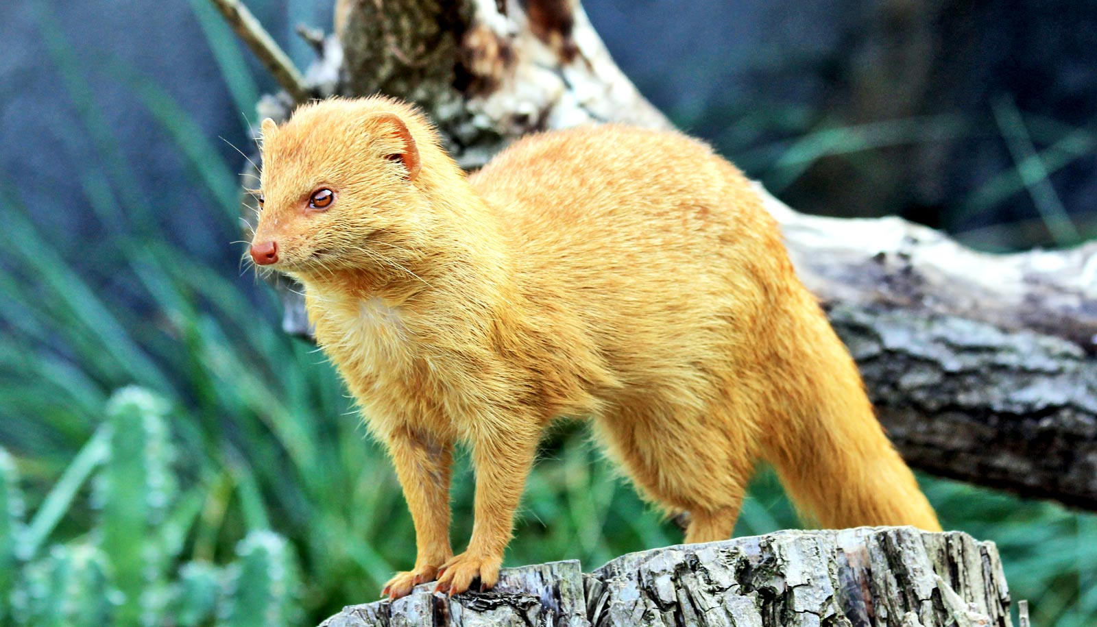 slender mongoose stands on stump