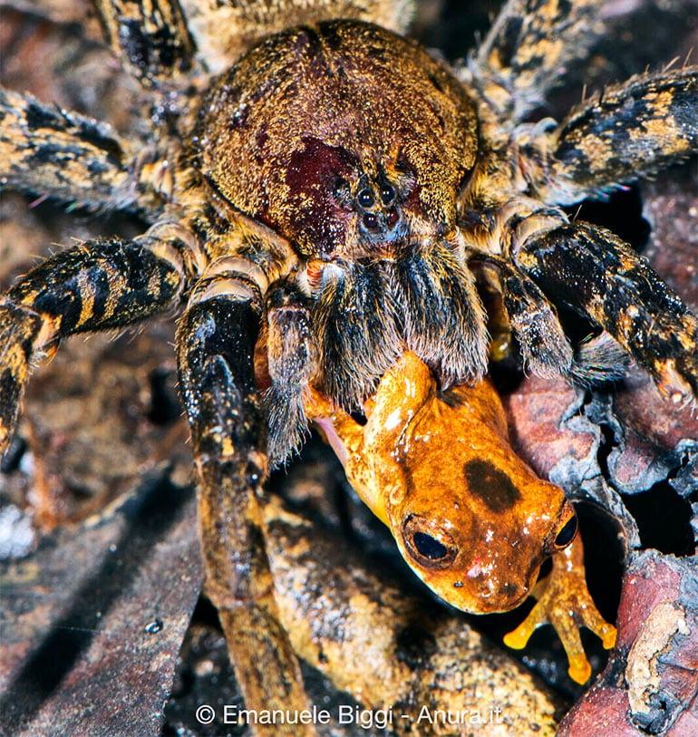 spider eating frog