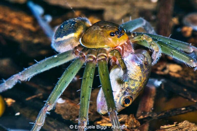 spider eats fish