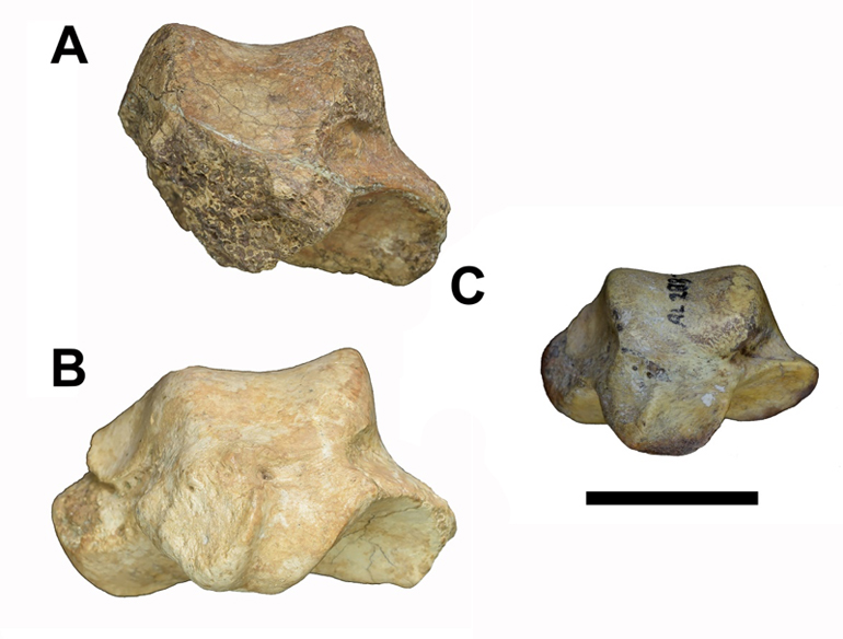"Ardipithecus ramidus and ""Lucy"" ankle bones"
