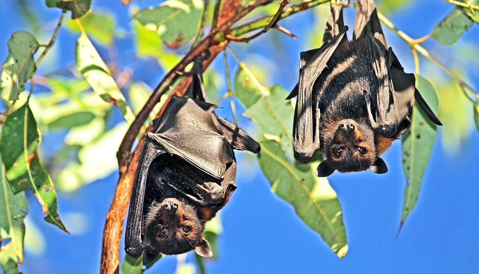 How bats harbor viruses but don't get sick