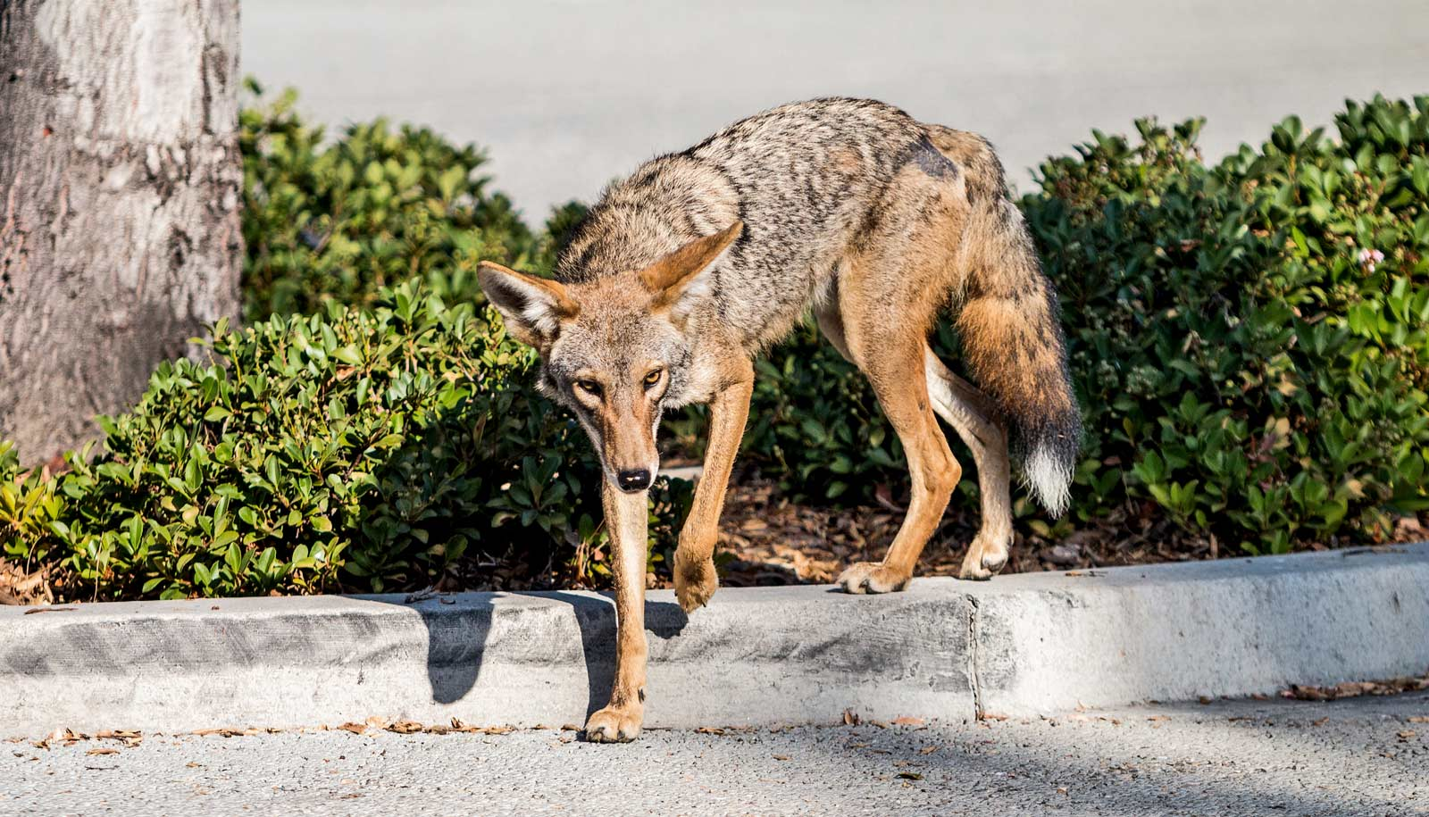 urban coyote stepping off concrete barrier