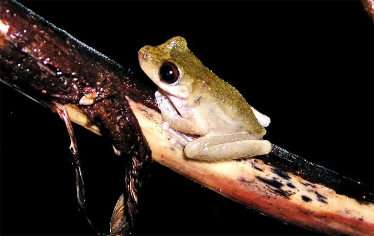 Common Mistfrog