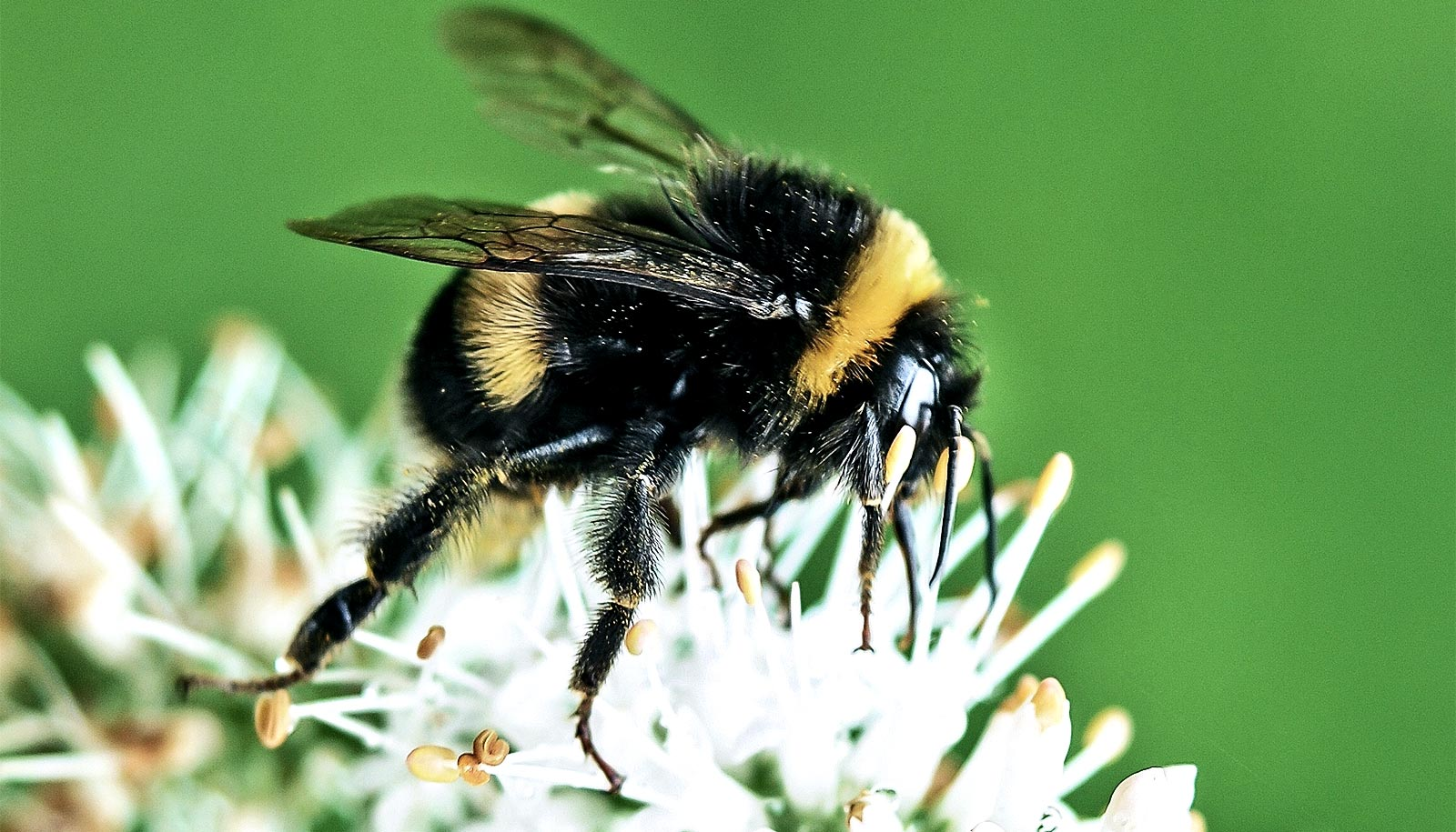 Bumble bees see huge population decline - Futurity