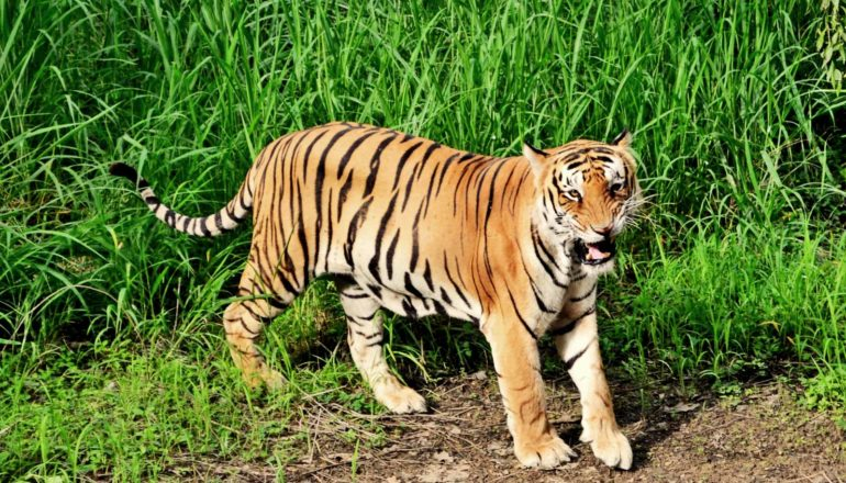 bengal tiger walking out of grass - endangered species