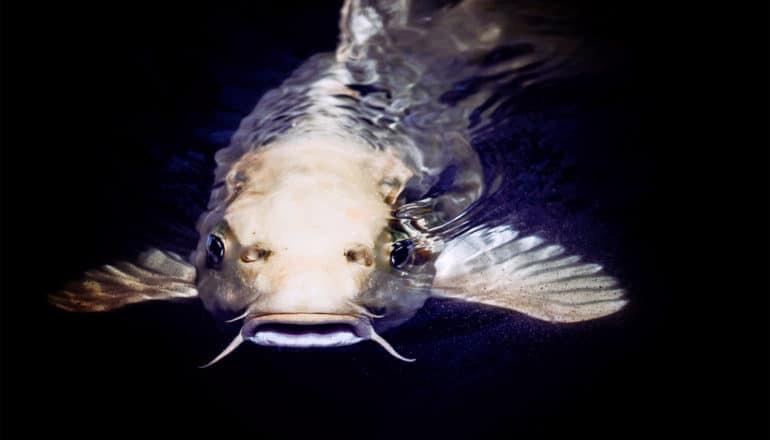 catfish in water