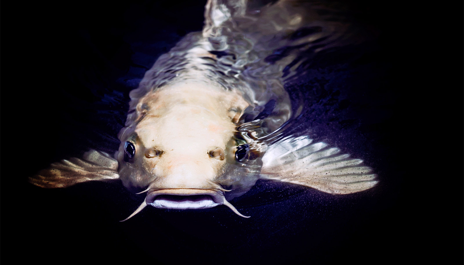 Scientists use 'x-ray vision' to see how catfish nab prey