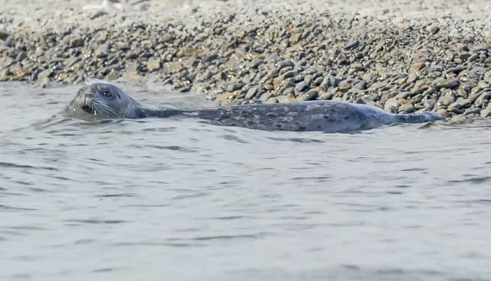 seal in water by gravel beach