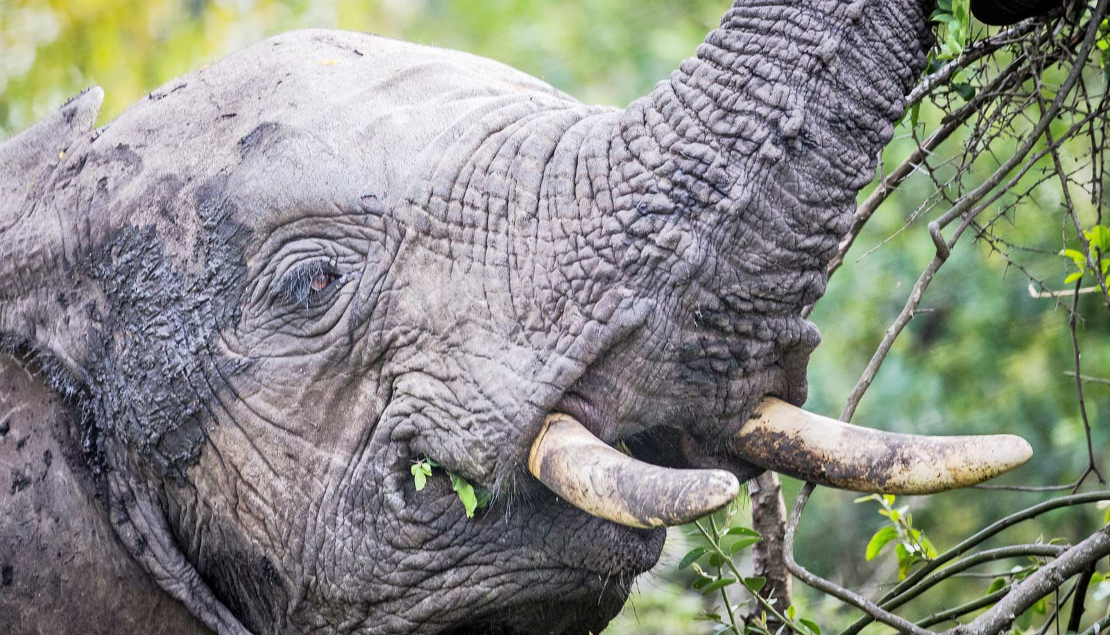 Why elephants munch more acacia in cool weather