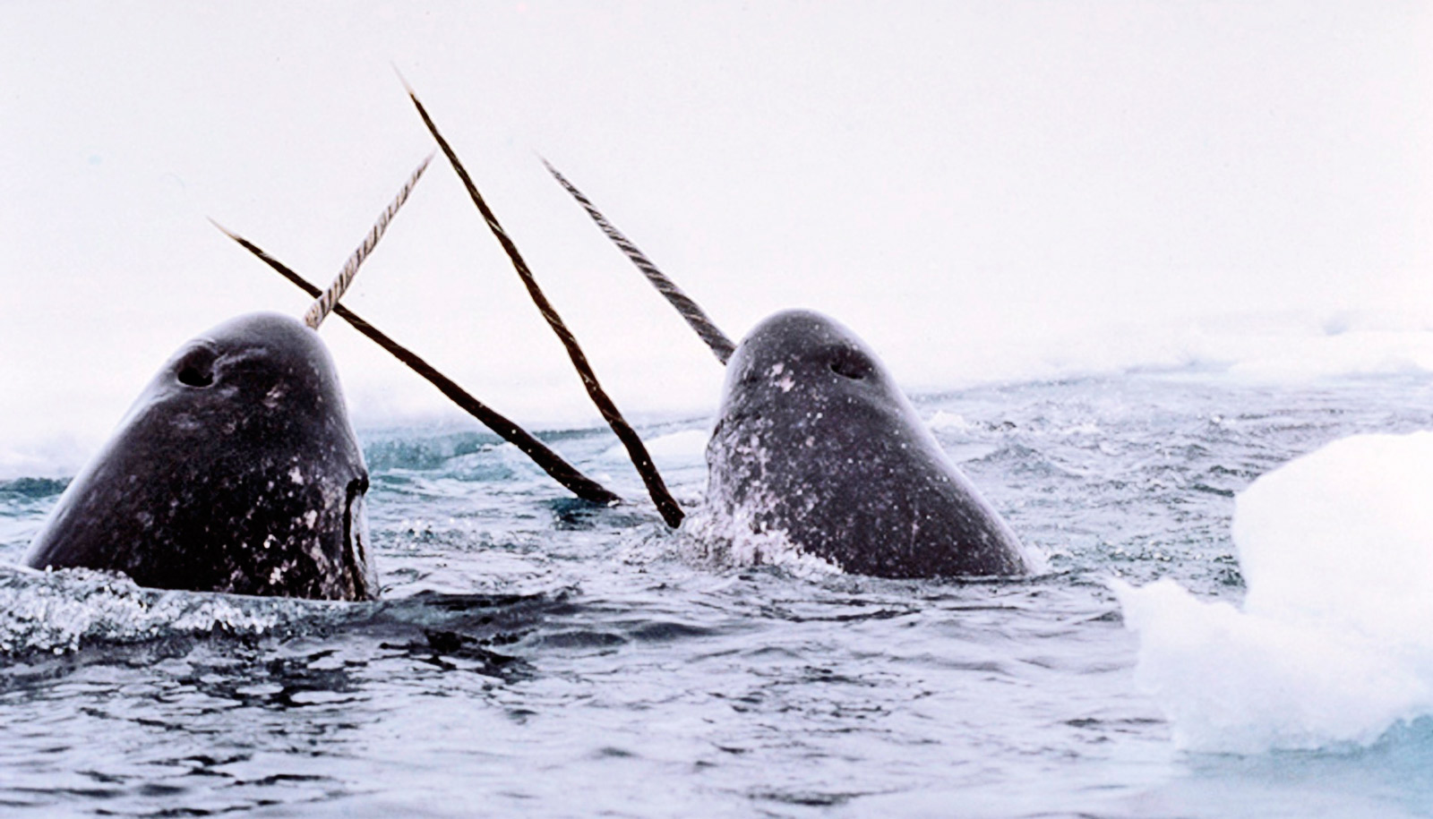 It's a mystery how narwhals have survived